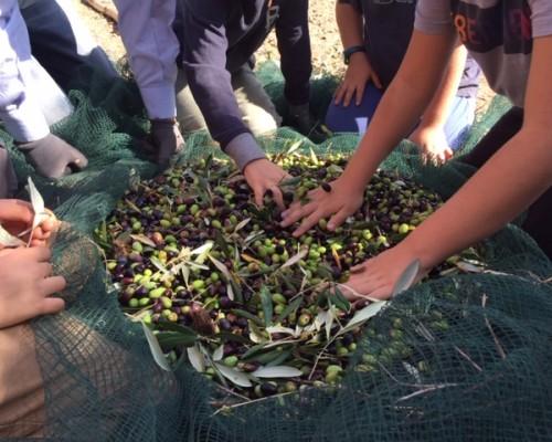 La raccolta delle olive della III classe